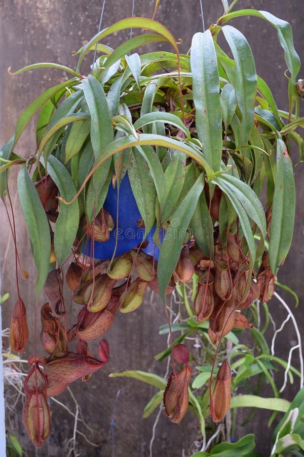 Härlig kruka för köttätande växt för kanna i Vietnam royaltyfri fotografi