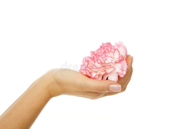 härlig kvinna för gillyflowerhandpink arkivfoton