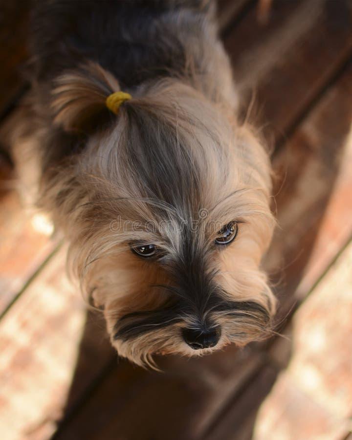 Härlig kvinnlig för Yorkshire terrier Underbart f?rf?lja arkivfoton
