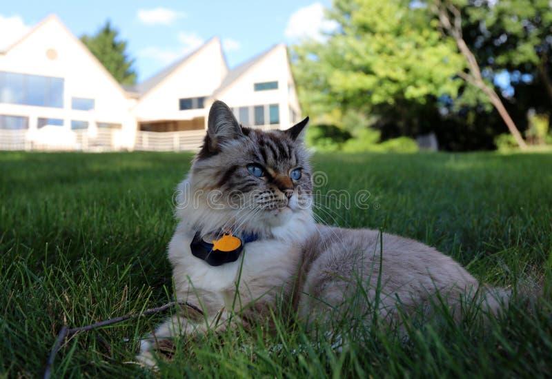 Härlig kvinnlig katt för blåa ögon, hypoallergenic katt Djur som kan vara älsklings- av folket, som är allergiskt till katter arkivfoton