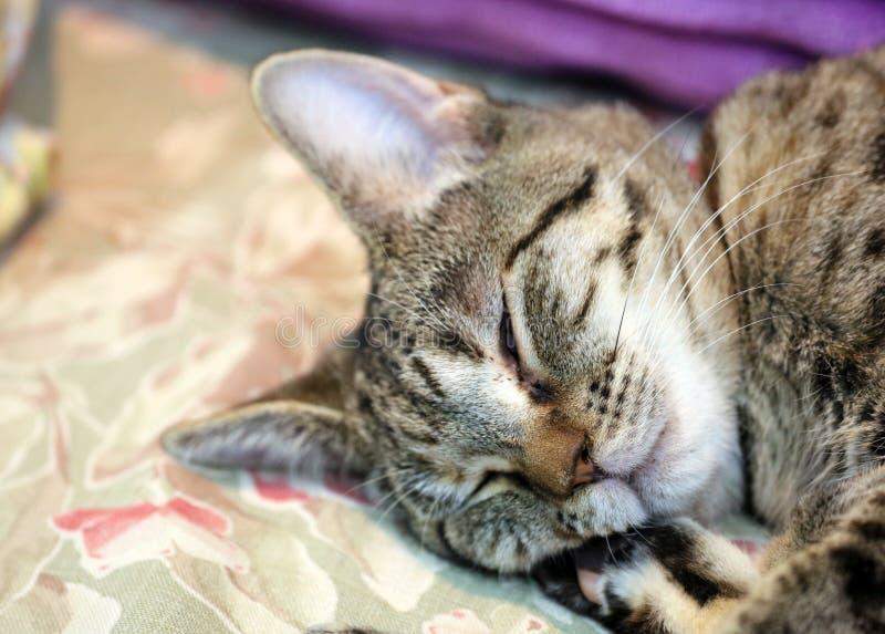Härlig kvinnlig katt för blåa ögon, hypoallergenic katt Djur som kan vara älsklings- av folket, som är allergiskt till katter royaltyfria foton