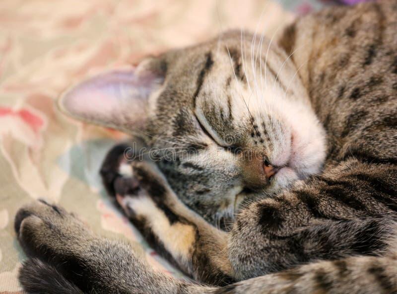 Härlig kvinnlig katt för blåa ögon, hypoallergenic katt Djur som kan vara älsklings- av folket, som är allergiskt till katter arkivbilder