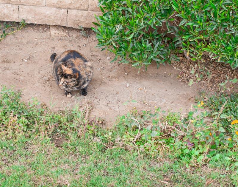 Härlig kvinnlig katt för blåa ögon, hypoallergenic katt Djur som kan vara älsklings- av folket, som är allergiskt till katter Urs royaltyfria foton