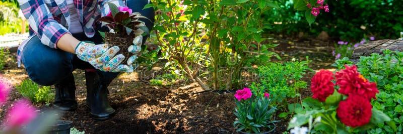 Härlig kvinnlig trädgårdsmästare som rymmer en blomningväxt klar att planteras i hennes trädgård arbeta i trädgården för begrepp  royaltyfri fotografi