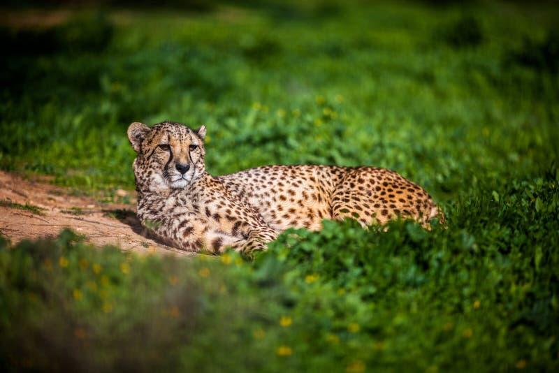 Härlig lös gepard som vilar på gröna fält, slut upp fotografering för bildbyråer