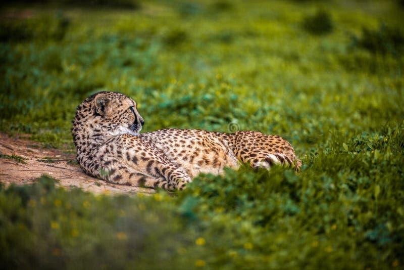 Härlig lös gepard som vilar på gröna fält, slut upp royaltyfri foto