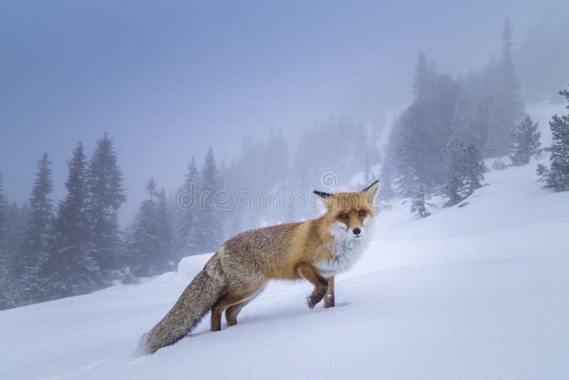 Härlig lös röd räv i snön, i bergen royaltyfria foton