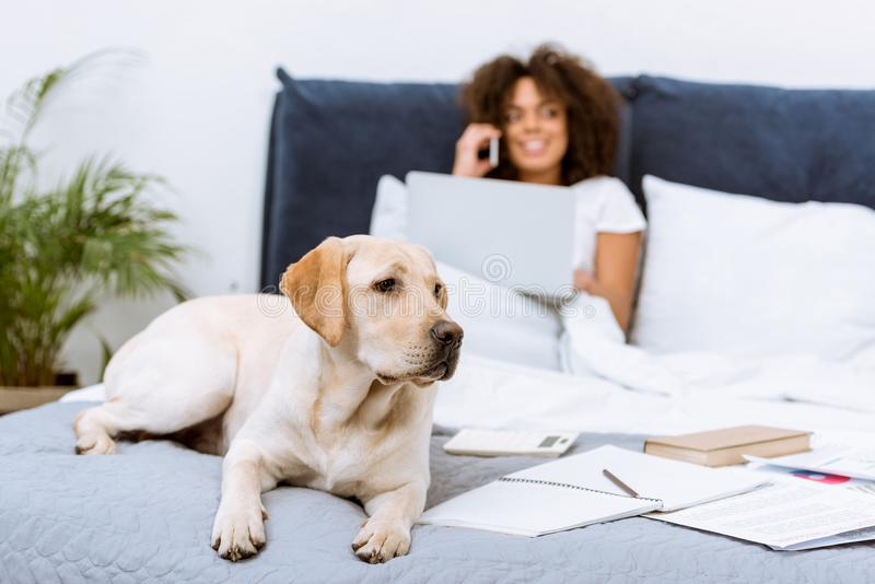 härlig labrador hund som ligger på säng medan kvinna arkivbilder