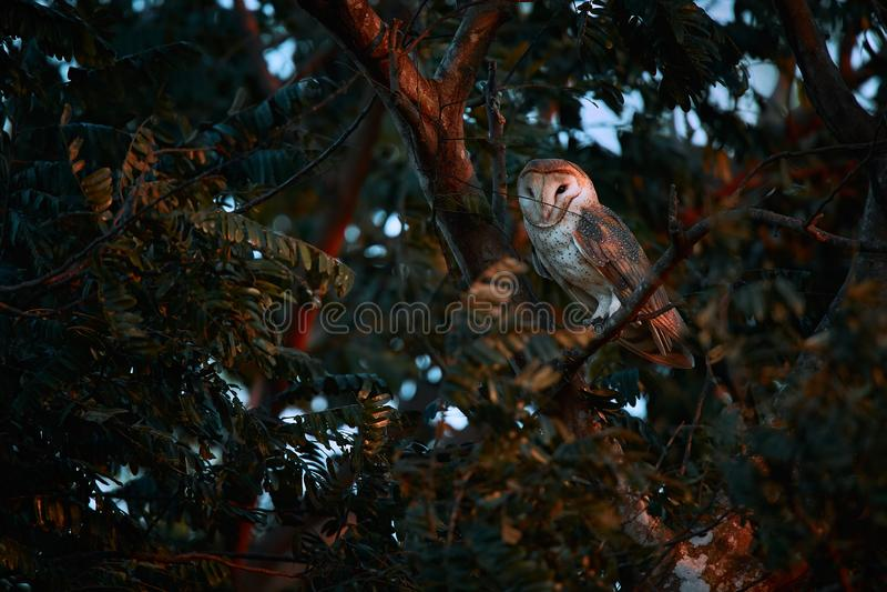 Härlig ladugårduggla, Tytoalbum som sitter på trädfilial Uggla från Costa Rica arkivbild