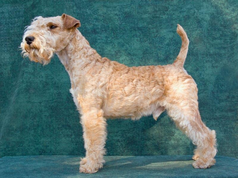 härlig lakeland terrier royaltyfri foto