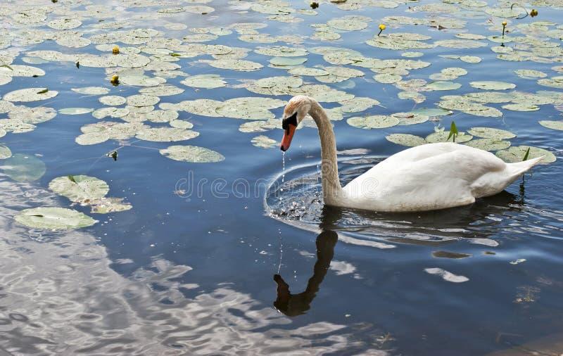 härlig lakeswan royaltyfri foto