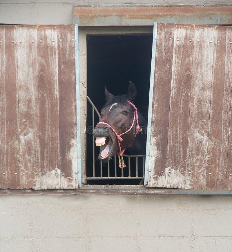 Härlig le häst som ut klibbar dess huvud fönstret arkivbilder