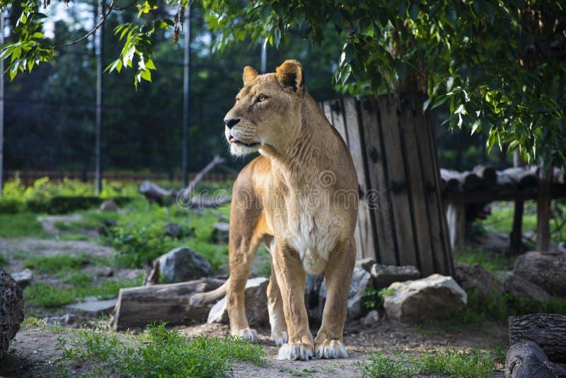 Härlig lejoninna drottningen av grön bakgrund för fän royaltyfria bilder