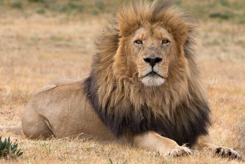 Härlig lejonkrugernationalpark Sydafrika arkivbild