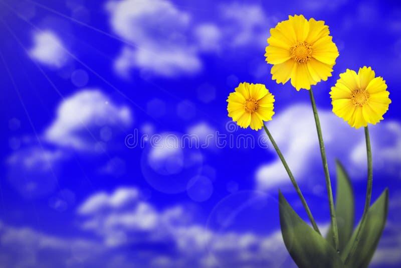 Härlig levande coreopsis med tomt på vänstersida på bokehbakgrund för molnig himmel Blom- vår eller sommarblommabegrepp arkivfoton