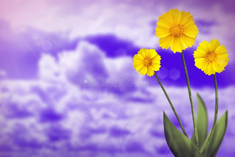 Härlig levande coreopsis med tomt på vänstersida på himmel för solig dag med molnbakgrund Blom- vår eller sommarblommabegrepp arkivfoton