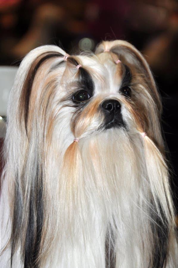 Härlig Lhasa Apso hund royaltyfri fotografi