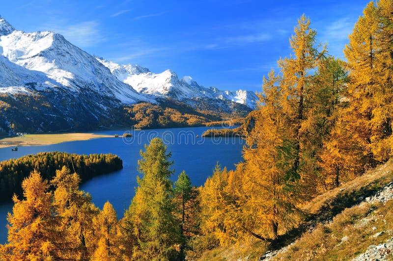 härlig liggandeschweizare för alps royaltyfri bild