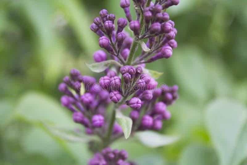 härlig lila blomma purplen royaltyfri fotografi