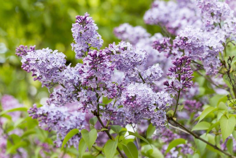 Härlig lila med purpurfärgade blommor arkivbilder