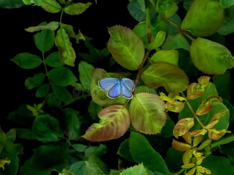 Härlig liten blå fjäril på gröna växter arkivbild