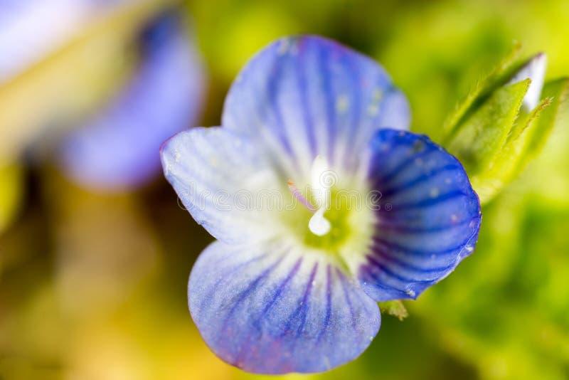 Härlig liten blåttblomma på naturen royaltyfri fotografi