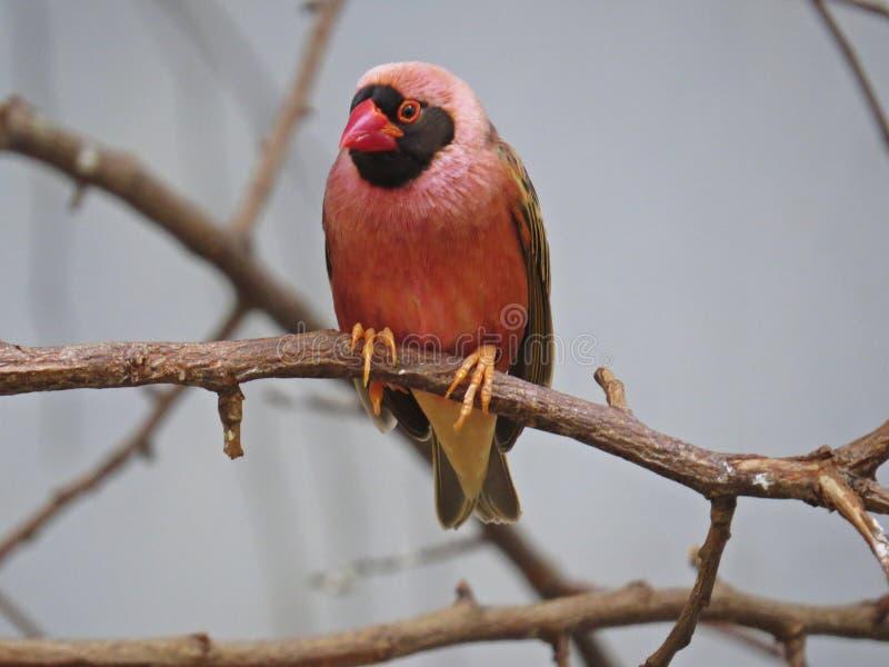 Härlig liten delikat röd kardinal Fody eller gemensamt sammanträde Fody för kvinnlig fågel på filial arkivfoto