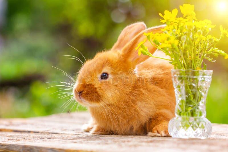 Härlig liten fluffig röd kanin på en solig vårdag på en grön bakgrund i natur arkivbild