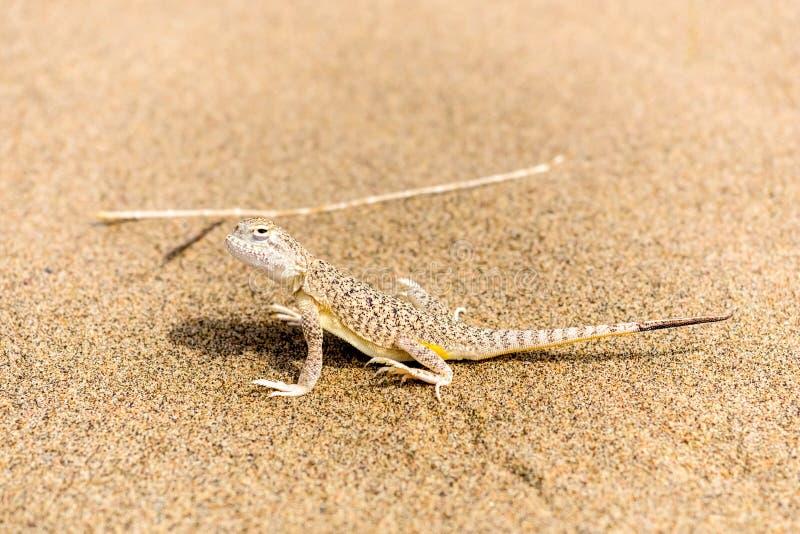 Härlig liten grå ödla på sandslutet upp royaltyfri bild