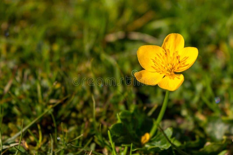 Härlig liten gul blomma i grönt gräs och solljus Färgrika nya växter arkivfoto
