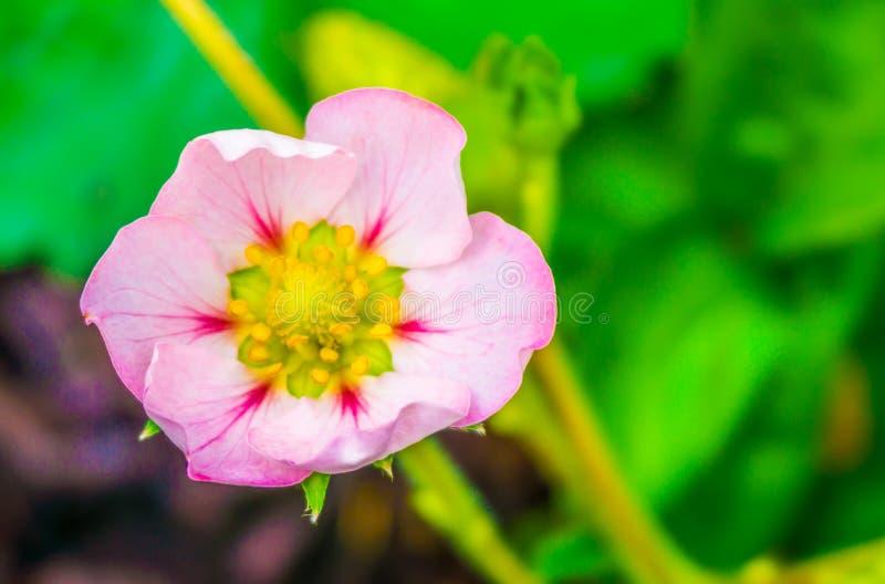 Härlig liten mycket liten rosa färgrosblomma av ett slut för makro för jordgubbeväxt upp arkivfoto