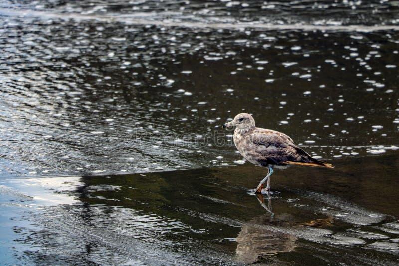 Härlig liten seagull på stranden av havet eller havet royaltyfri foto