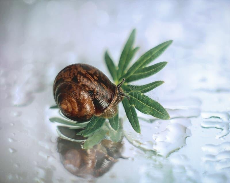Härlig liten snigel på ett grönt bladslut upp Snigel i spegelreflexionen med vattensmå droppar på en vit bakgrund, makro royaltyfri foto