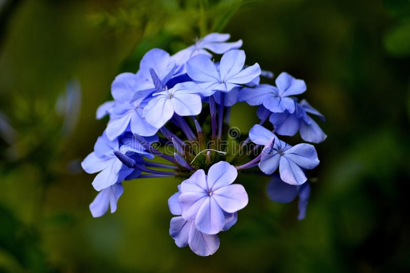 Härlig liten violett jasminblomma royaltyfri bild