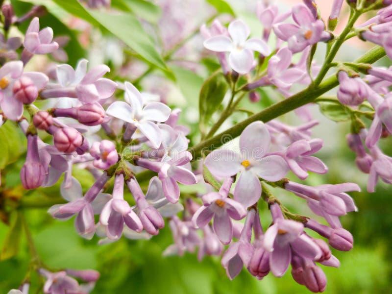 Härlig ljus filial av den purpurfärgade lilan och ljus saftig grön lövverk Början av blomningen i tidig vår royaltyfria foton