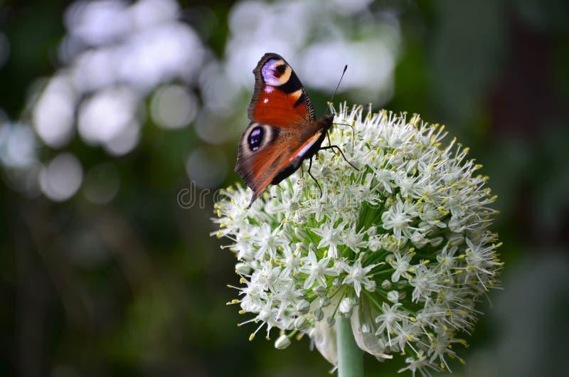Härlig ljus fjäril som sitter på en vit blomma, grön bakgrund arkivbilder