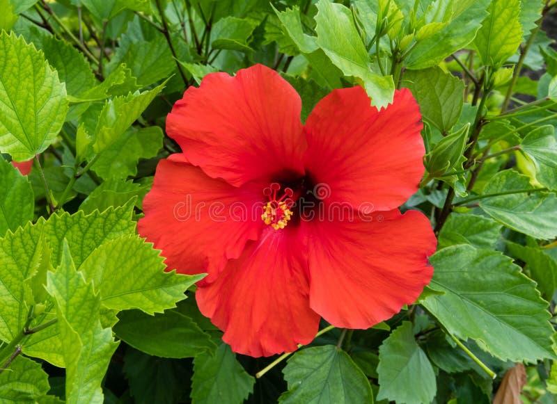 Härlig ljus röd hibiskusblomma på Oahu royaltyfria foton