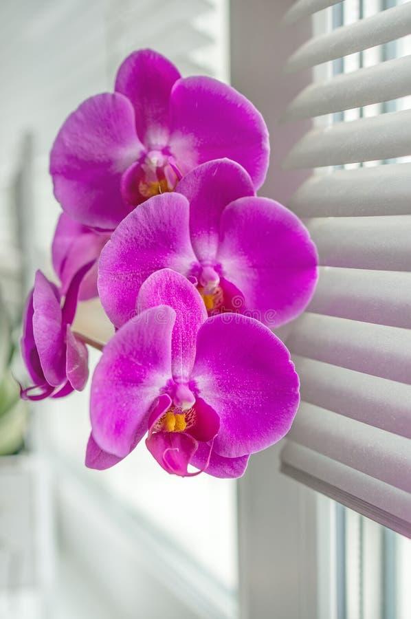 Härlig ljus rosa orkidé på fönsterrullgardinerna arkivfoto