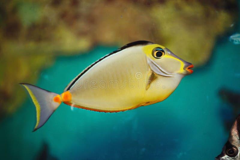 Härlig ljus tropisk akvariefisk En färgrik tropisk hav-fisk för kejsare arkivfoto