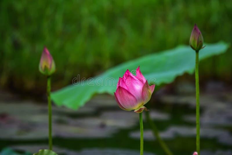 Härlig lotusblomma i dammet arkivbilder