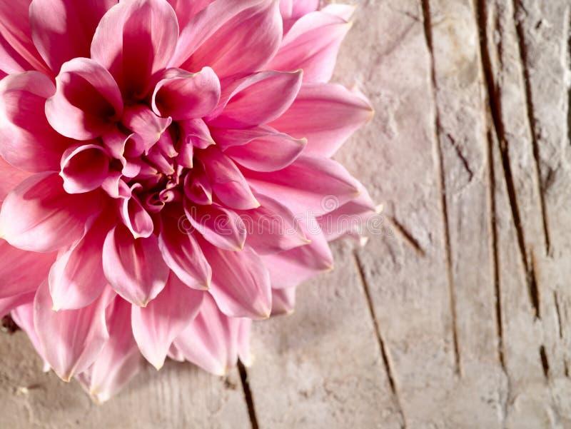 Härlig lotusblommablomma royaltyfria bilder