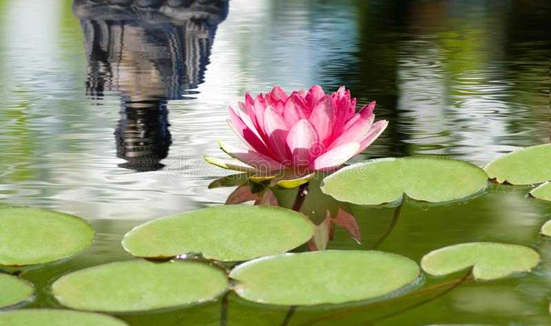 Härlig lotusblommablomma på vattnet i en parkeranärbild arkivbild