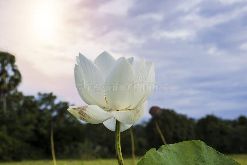 härlig lotusblommawhite fotografering för bildbyråer