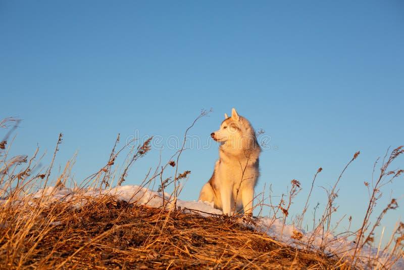 Härlig, lycklig och fri siberian skrovlig hund som sitter på kullen i det vissna gräset på solnedgången på bergbakgrund royaltyfria bilder