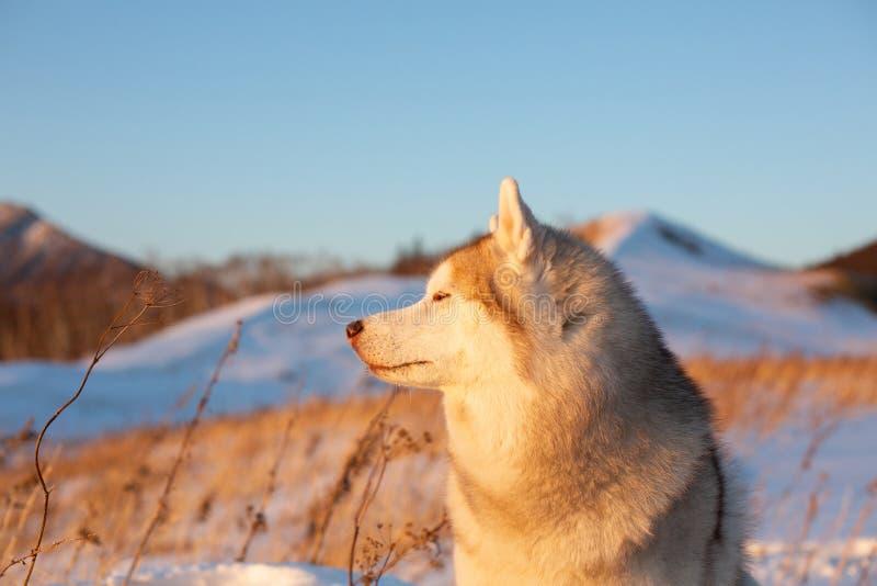 Härlig, lycklig och fri siberian skrovlig hund som sitter på kullen i det vissna gräset på solnedgången arkivbilder