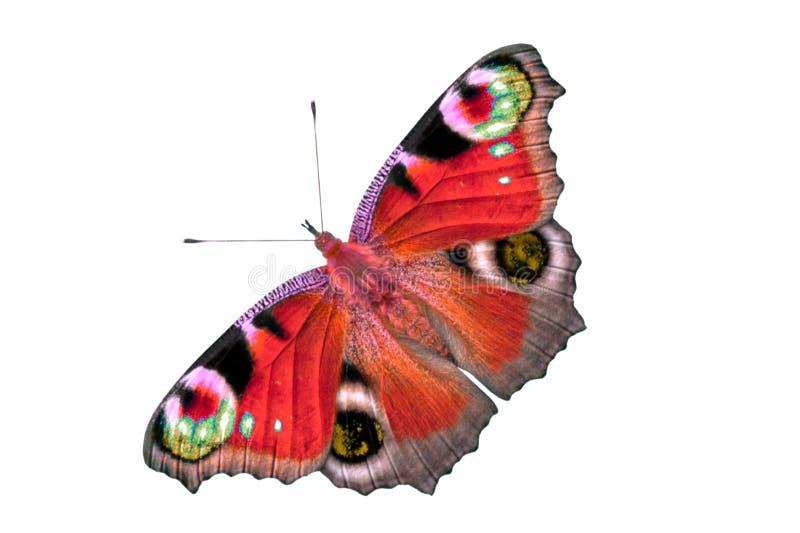 Härlig mång--färgad fjäril med öppna vingar Fjärilen isoleras på den bästa sikten för vit bakgrund, ingen skugga arkivbild