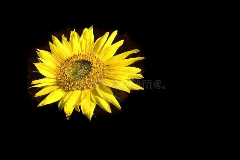 härlig mörk solros för bakgrund royaltyfri bild