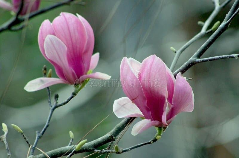 Härlig magnoliablomma, Lily Magnolia, Violet Magnolia, Yulan magnolia arkivfoton