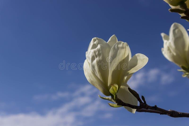 Härlig magnoliablommabakgrund bakgrund göra en birdie treen för fjädern för bloosompar den fantastiska blom- Magnoliaträd i blom  fotografering för bildbyråer