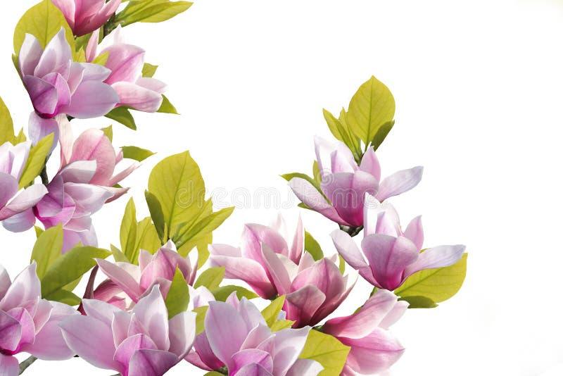 Härlig magnoliablommabukett på vit bakgrund royaltyfria foton